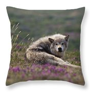 An Arctic Wolf Canis Lupus Arctos Rests Throw Pillow by Paul Nicklen