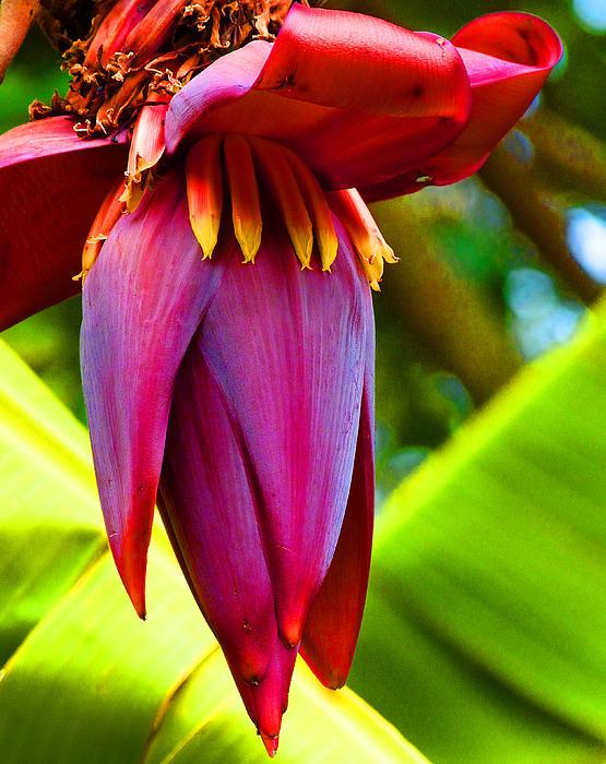 Banana Flower Photograph -  Banana Flower Glow by Margaret Saheed