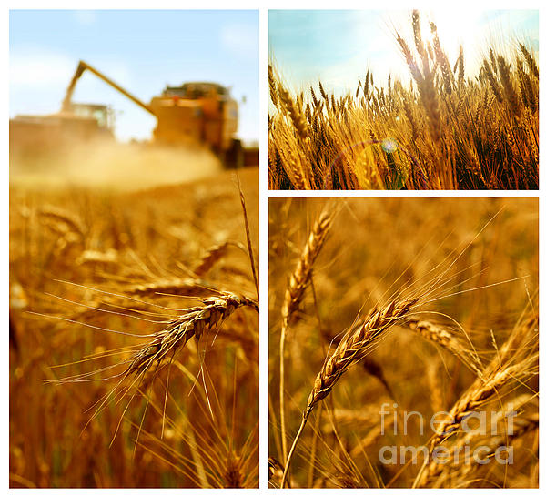 Collage  Photograph -  Collage Fields And Grain by Boon Mee