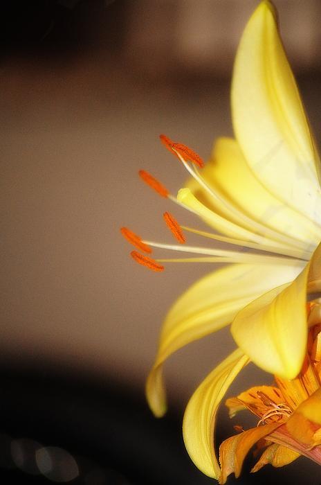 Flowers Photograph -  Perfect Peddles by Frank Sciberras