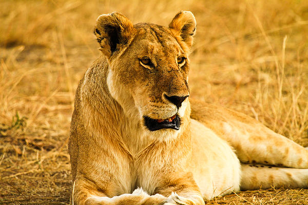 Africa Pyrography -  Female Lion by Kongsak Sumano