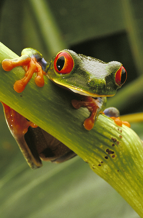 Color Image Photograph - A Red-eyed Tree Frog Agalychnis by Steve Winter