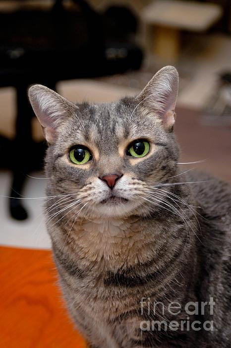 Alert Photograph - American Shorthair Cat Portrait by Amy Cicconi