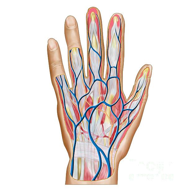 Healthcare Digital Art - Anatomy Of Back Of Human Hand by Stocktrek Images