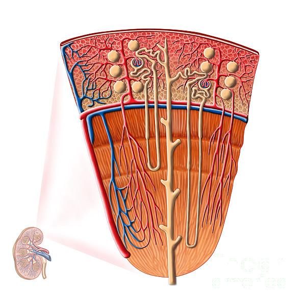 Healthcare Digital Art - Anatomy Of Human Kidney Function by Stocktrek Images
