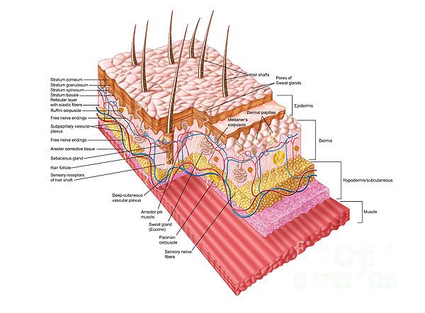 Healthcare Digital Art - Anatomy Of The Human Skin by Stocktrek Images