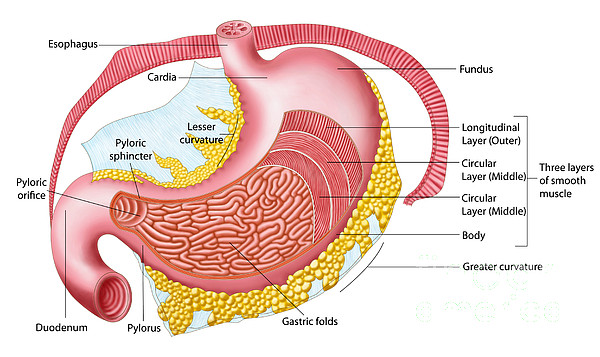Healthcare Digital Art - Anatomy Of The Human Stomach by Stocktrek Images