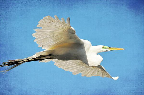Great White Egret Photograph - Aqua by Fraida Gutovich