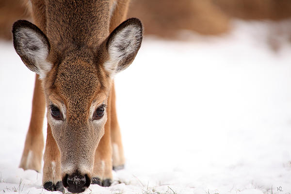 Deer Photograph - Attention by Karol Livote