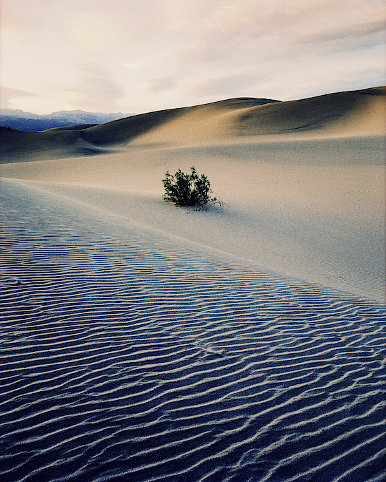 Bushes In Sand Dunes At Dusk Photograph by Gary Yeowell