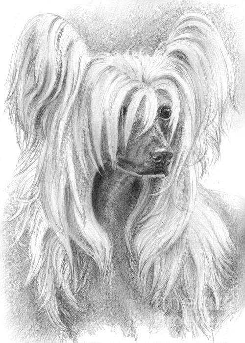 Chinese Crested Drawing - Chinese Crested by Tobiasz Stefaniak