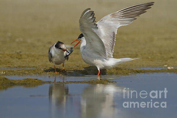 Common Tern Photograph - Common Tern Sterna Hirundo by Eyal Bartov