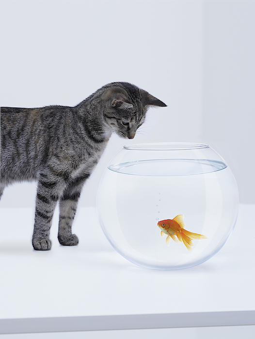 Curious Cat Watching Goldfish In Fishbowl 1 Photograph by Adam Gault