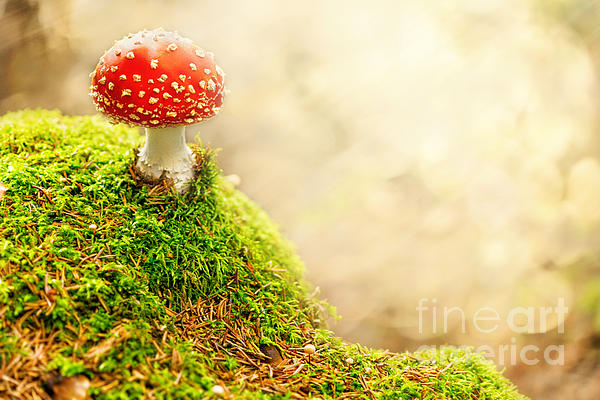Agaric Pyrography - Fly Agaric by Stefan Holm
