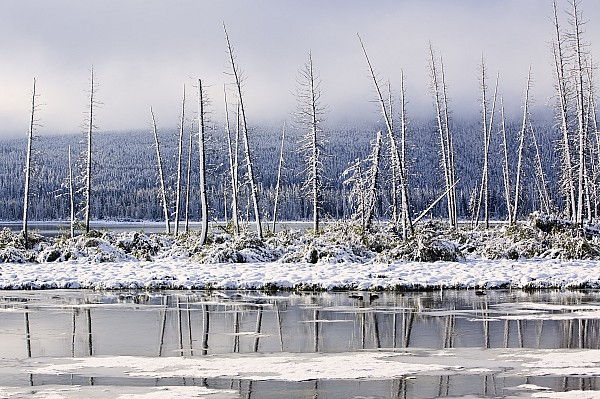Light Photograph - Fresh Snowfall And Bare Trees by Ken Gillespie