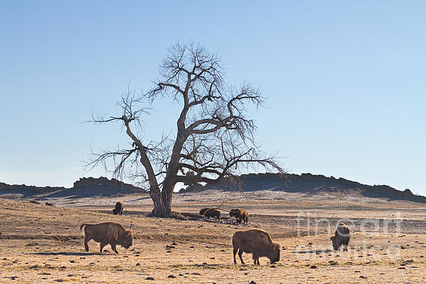 Buffalo Photograph - Give Me A Home Where The Buffalo Roam by James BO  Insogna
