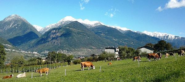 Meadows Photograph - Grazing Cows  by Giuseppe Epifani