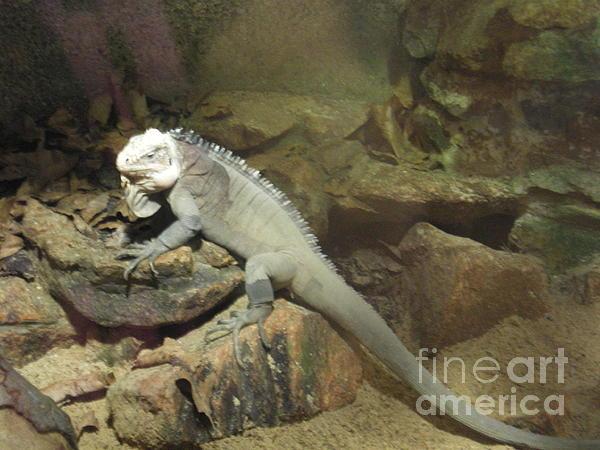 Reptile Photograph - Grey Iguana  by Ann Fellows