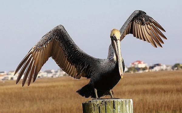 Pelican Photograph - Ive Arrived by Paulette Thomas