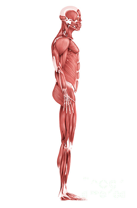 Side View Digital Art - Medical Illustration Of Male Muscular by Stocktrek Images