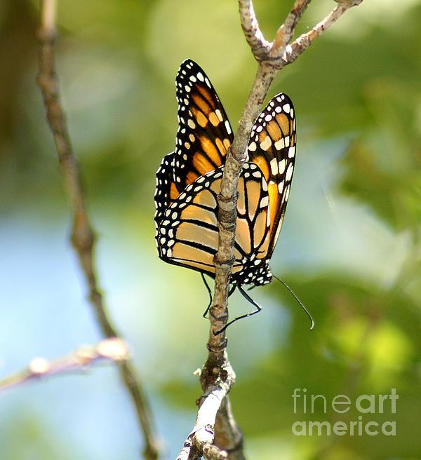 Butterfly Photograph - Monarch by Lori Tordsen