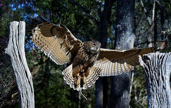 Owl Photograph - Owl In Flight by Paulette Thomas