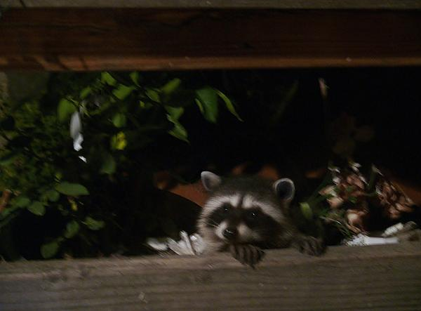Raccoon Photograph - Peek-a-boo Baby by Jacquelyn Roberts