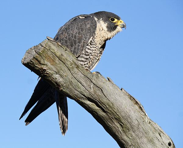 Falcon Photograph - Peregrine Falcon by Paulette Thomas