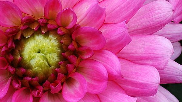 Flora Photograph - Pink Beauty by Bruce Bley