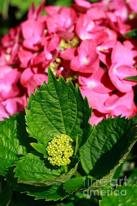 Hydrangea Photograph - Pink Hydrangea by Gaspar Avila