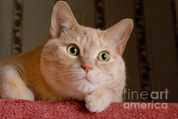 Alert Photograph - Portrait Orange Tabby Cat by Amy Cicconi