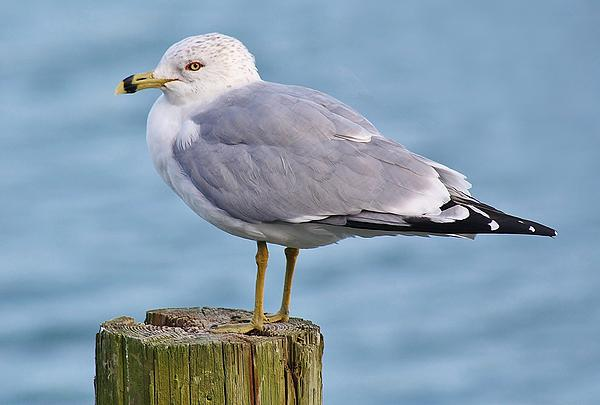 Birds Photograph - Pretty Sea Gull by Paulette Thomas