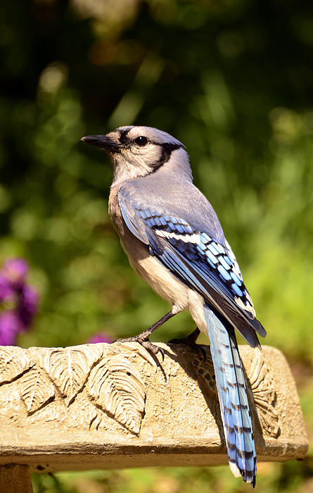Bird Photograph - Shades Of Blue by Lori Tambakis