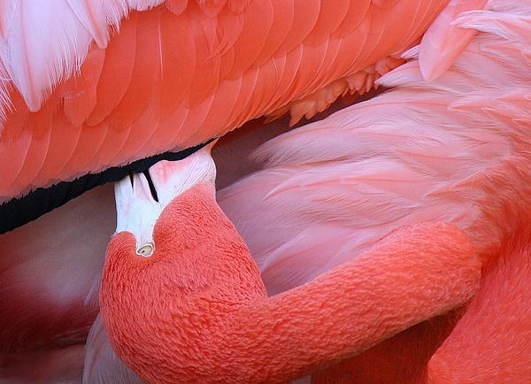 Flamingo Photograph - Soft And Delicate by Paulette Thomas