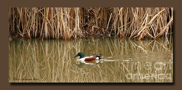 Northern Shoveler Photograph - Swimming Among The Reeds by Chris Anderson
