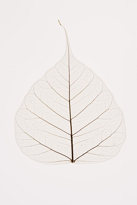 Copy Space Photograph - Transparent Leaf by Kelly Redinger