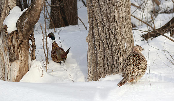 Pheasant Photograph - Undercover by Lori Tordsen