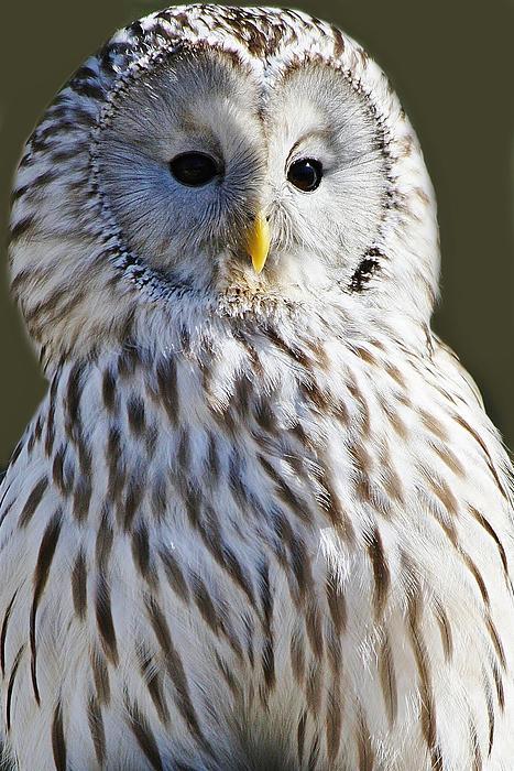 Owl Photograph - Ural Owl by Paulette Thomas