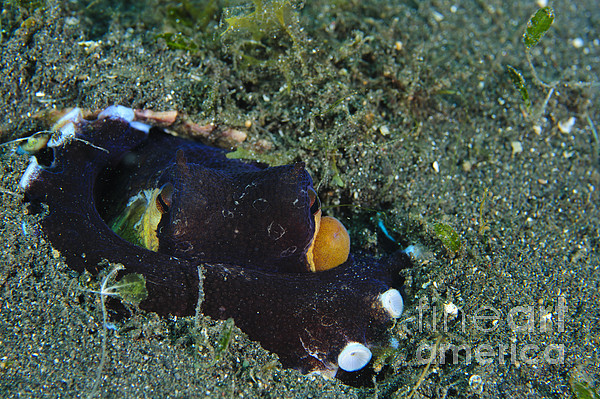 Amphioctopus Marginatus Photograph - A Coconut Octopus, Lembeh Strait by Steve Jones