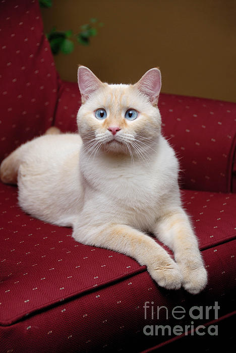 Blue Eyes Photograph - Flame Point Siamese Cat by Amy Cicconi