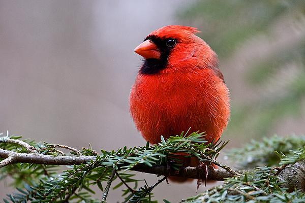 Nature Photograph - Northern Cardinal Male by Dan Ferrin
