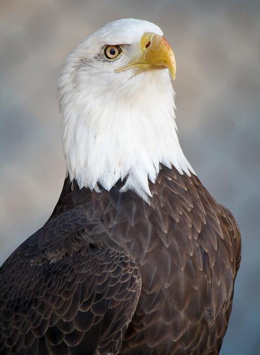 Eagle Photograph - American Bald Eagle by Paulette Thomas