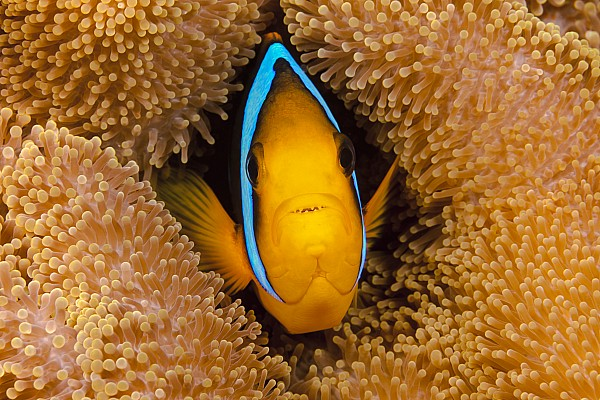 Amphiprion Photograph - Orange Fin Anemonefish by Dave Fleetham