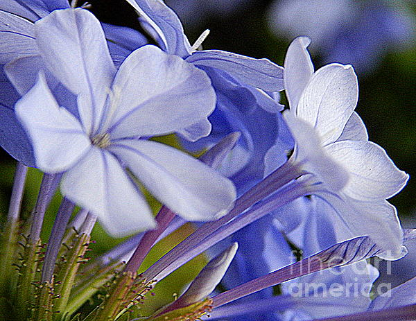 New Orleans Photos Photograph - Plumbago Summer Solstice In New Orleans Louisiana by Michael Hoard