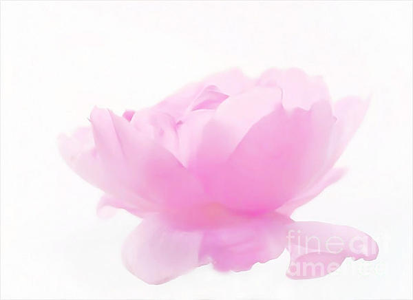 Pink Photograph - Rose by Sylvia  Niklasson