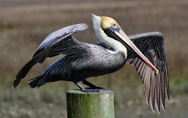 Pelican Photograph - Wing Down by Paulette Thomas