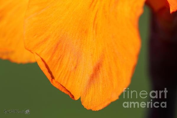 Canna Photograph - Canna Lily Named Wyoming by J McCombie