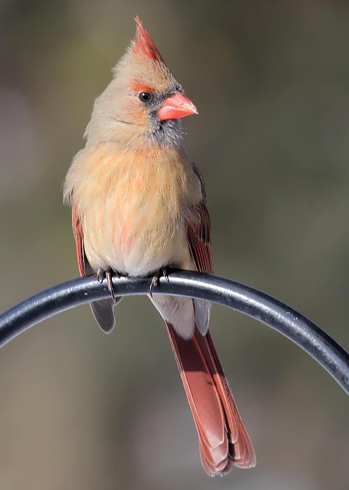 Cardinal Photograph - Cardinal by John Kunze