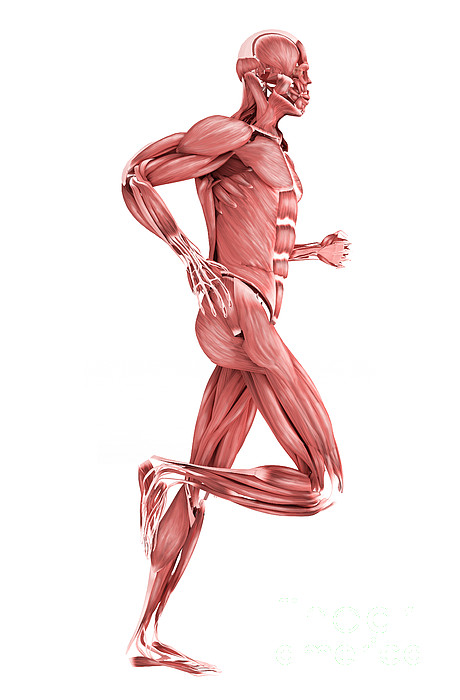 Motion Digital Art - Medical Illustration Of Male Muscles by Stocktrek Images
