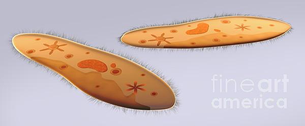 Color Image Digital Art - Microscopic View Of Paramecium by Stocktrek Images